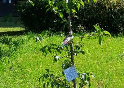 Posadzona rajska jablon na Wyspie Sobieszewskiej