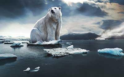 Niedźwiedź polarny – gatunek zagrożony?
